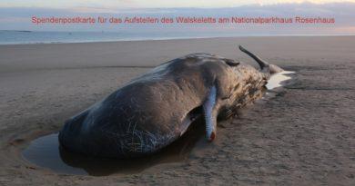 Strandung von zwei Pottwalen am 08.Januar 2016 am Ostende von Wangerooge