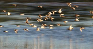 """23.09.2021 NLPV Fotowettbewerb zum Thema """"Vögel des Wattenmeeres"""" / Zugvogeltage im Nationalpark Niedersächsisches Wattenmeer"""